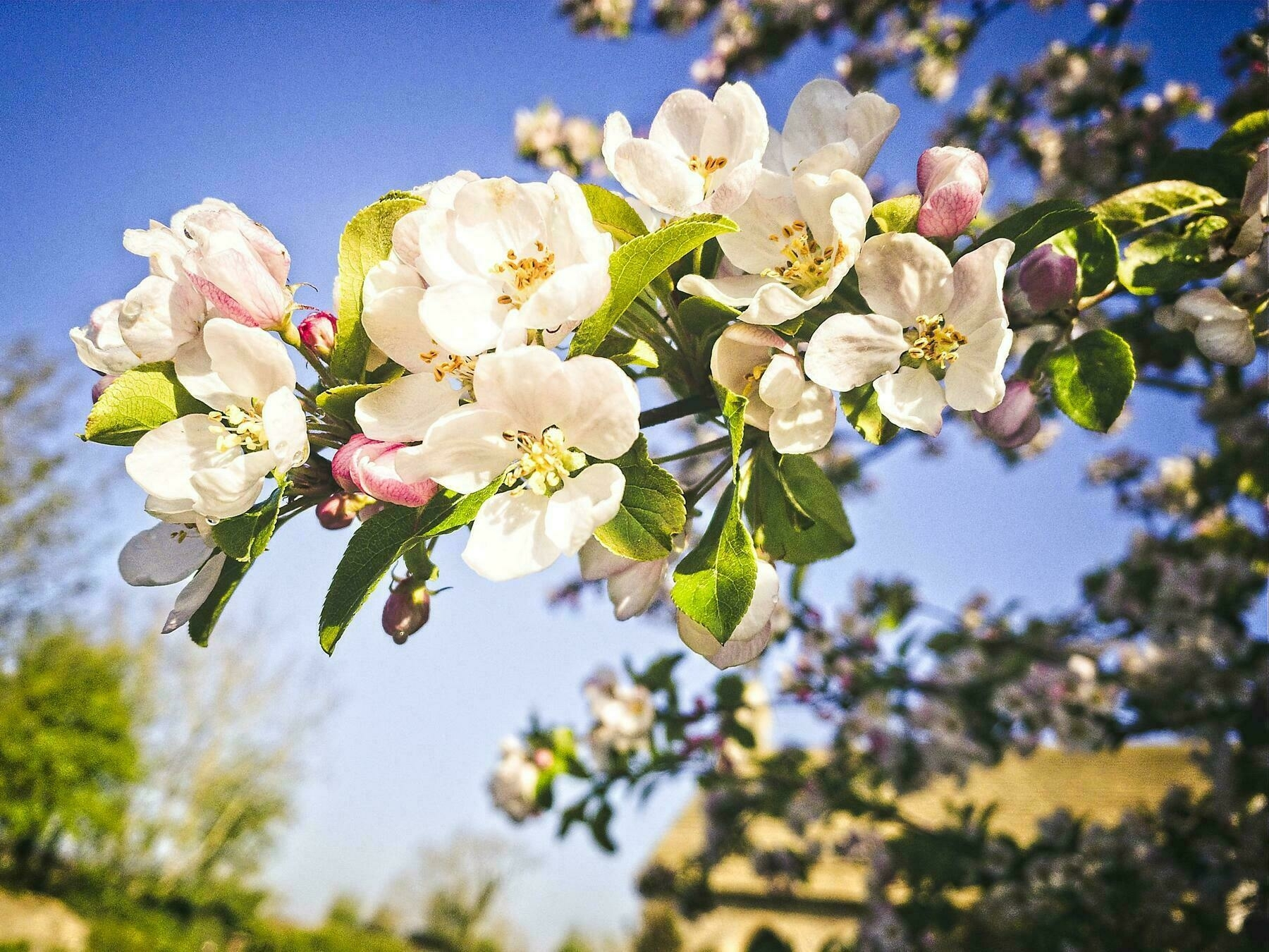 photo of some apple blossom