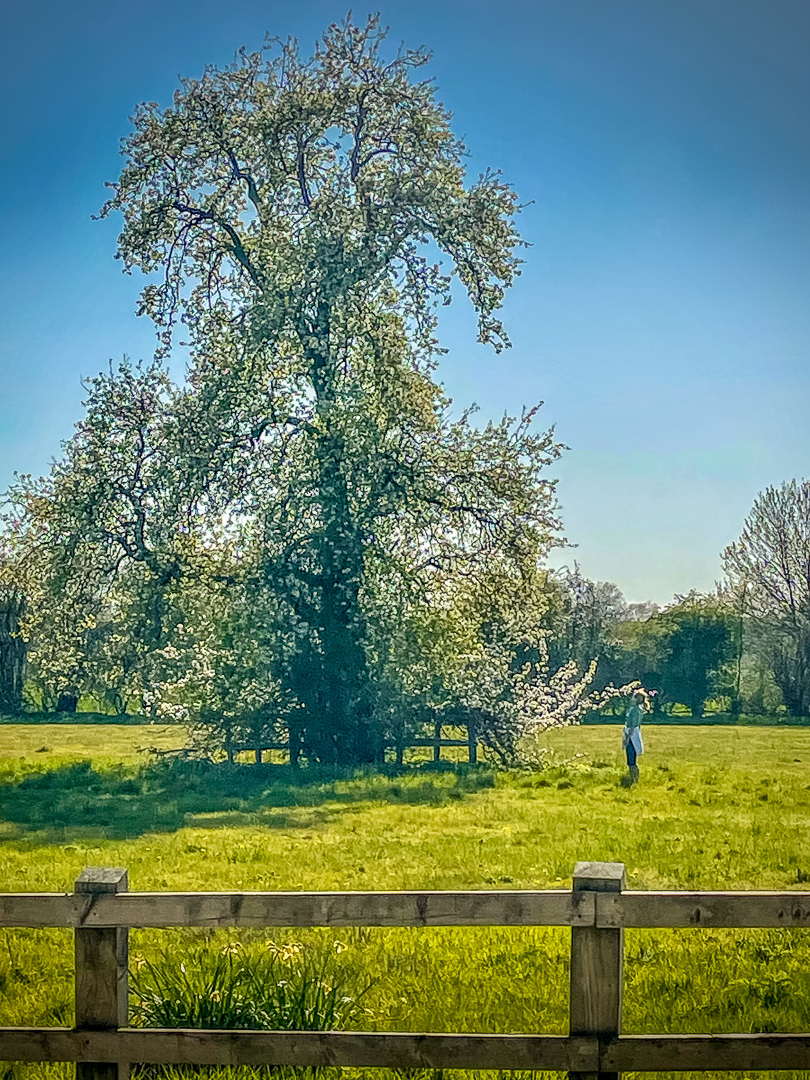 photo of a very large pear tree