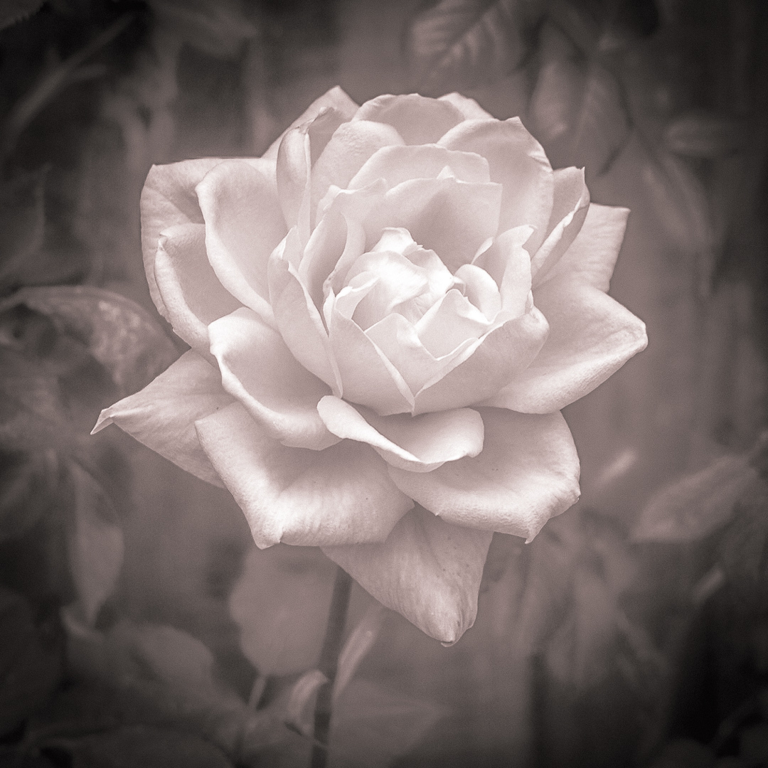 colour graded photo of a rose
